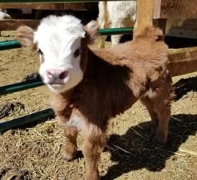 Mini Cows For Sale Miniature Cows For Sale Lovable Little Ones In Loveland Co Fluffy Animals Fluffy Cows Baby Farm Animals