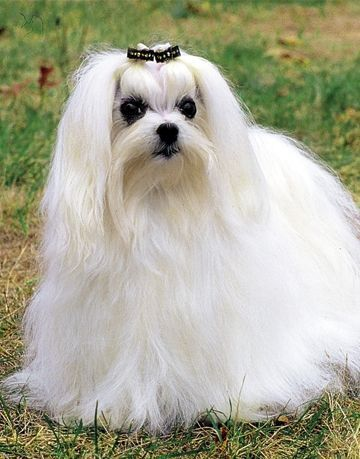 Maltese This Little Breed Is Great For Allergy Sufferers Long Haired Dog Breeds Maltese Breed Dog Breeds