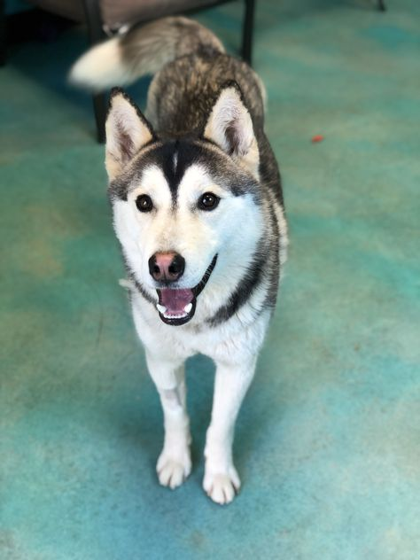 Siberian Husky Dog For Adoption In Guthrie Ok Adn 816400 On