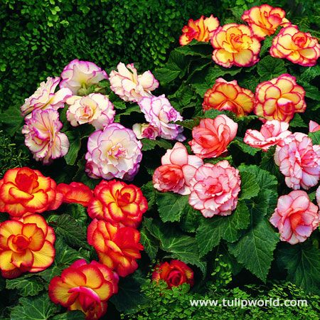Jazz up your containers and borders with this frilly Picotee Begonias in an assortment of colors. Picotee begonias feature a different color on the edge of the petal than what the main petal color is. This super pack comes with 5 bulbs, which would...