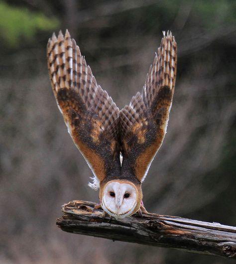 Owl Take-off