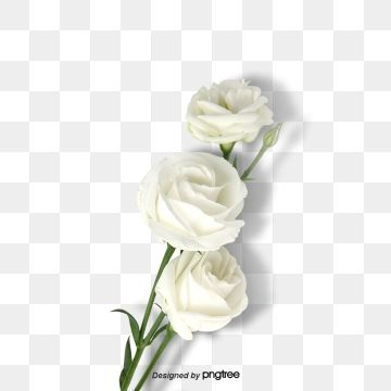 White Flower Plant Rose Element Illustration Plant Png Transparent Clipart Image And Psd File For Free Download Flower Line Drawings Plant Drawing Rose Flower Png