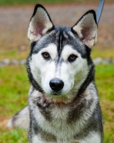 Adopt Shiska On Husky Siberian Husky Funny Siberian Husky Dog