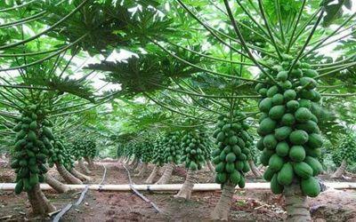 Pin On Papaya Plantation