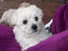 Pin By Staci Hinojosa On Malti Love The Best Maltese Dog For