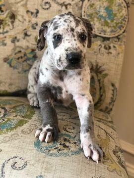Litter Of 4 Great Dane Puppies For Sale In Murfreesboro Tn Adn