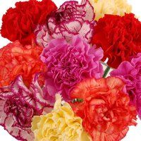 Bulk Carnations.  Starting at $98.95.  Bulk Carnations are a great addition to any arrangement for any occassion!    Common Names: Carnation, Chinese Pinks, Pinks    Description: A delicate multi-petaled single flower up to 3 inches in diameter, atop a long stem.  Most are double forms with many ruffled petals.