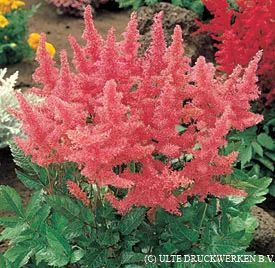 Astilbe Amerika 2019 Flowers Decor Hydrangea Not Blooming Flowers Types Of Flowers