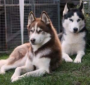 Beyjess12 Gorgeous Black And Red Huskies Siberianhusky
