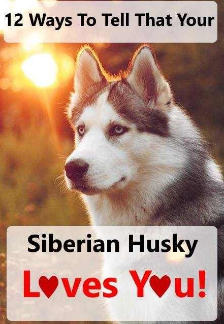 Siberian Huskies Are Capable Of Showing Great Affection What Are