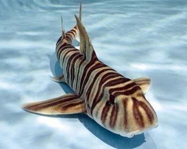 Tiburon cebra (Zebra bullhead shark) - Heterodontus zebra. Es un tiburón cornudo de la familia Heterodontidae, que habita en el océano Pacífico occidental subtropical entre las latitudes 40º N y 20º , a profundidades de entre 50 y 200 m. [Wikipedia]. Por Angel Catalán Rocher