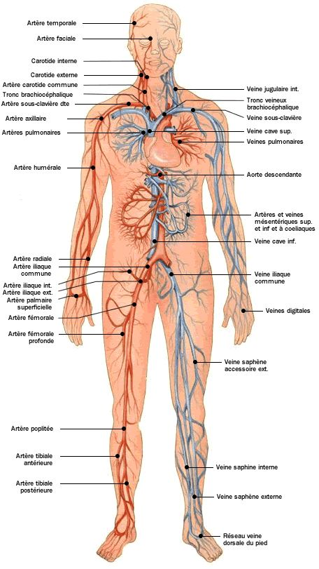 Anatomie - Atlas du corps humain - Système cadiovasculaire - Doctissimo