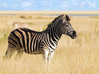 تفسير الاحلام مجانا الحمار الوحشي في المنام تفسير حلم رؤية الحمار ال Zebras Animal Animal Planet Zebras