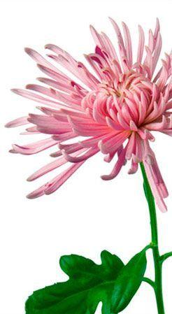 Queena Flower Meanings Chrysanthemum Flower Chrysanthemum