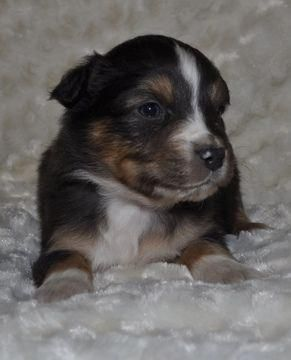 Miniature Australian Shepherd Puppy For Sale In Atwood Il Adn 70809 On P Miniature Australian Shepherd Puppies Shepherd Puppies Australian Shepherd