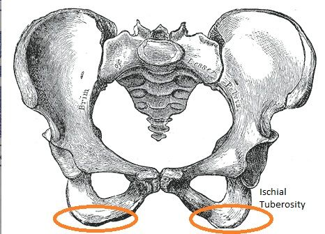 ischial tuberosity - google search | male surgical anatomy, Human Body