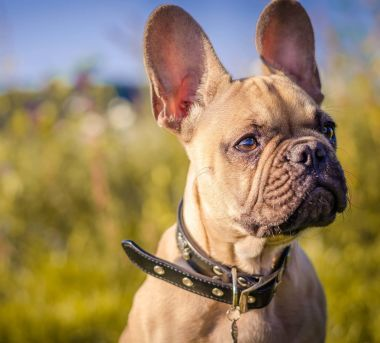 Top French Bulldog Name Ideas Find The Perfect Name For Your