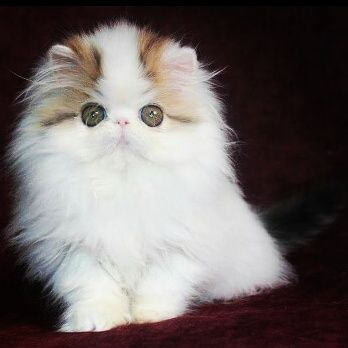 Milord Fellini Persian Cats For Sale Persian Cat Persian Kittens