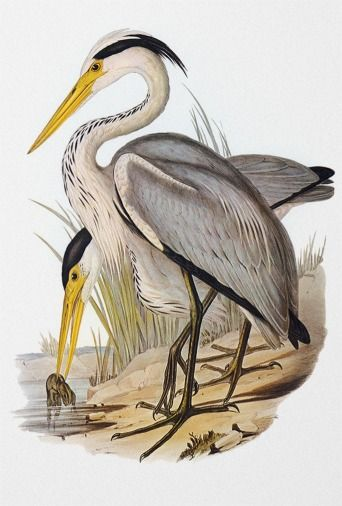 Vintage Bird Print Heron Print Coastal Bird Print Bird Wall Etsy In 2020 Vintage Bird Illustration Bird Prints Vintage Birds