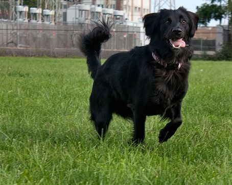 Black Lab Golden Retriever Mix On The Hunt For You Rachel Our