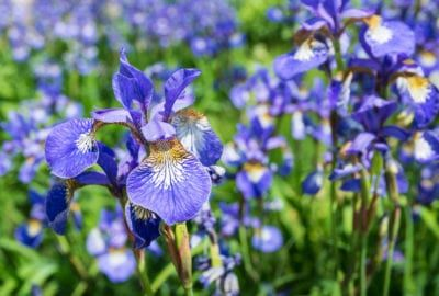 Siberian Iris In The Garden How To Grow Siberian Iris Plants Growing Irises Iris Flowers Lily Plants