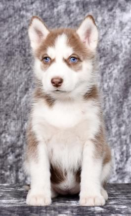 Pin By Ameaka Lashawn On Puppies Husky Puppies For Sale