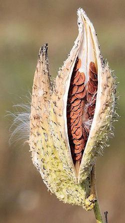 Dehiscence of the follicular fruit of milkweed (Asclepias syriaca), revealing seeds within.