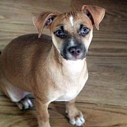 Bedford Hills Ny Dachshund Meet Marella A Pet For Adoption