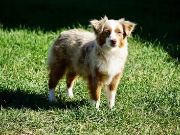 Beartooth Toy Aussies Home Toy Australian Shepherd Australian Shepherd Puppies Australian Shepherd For Sale
