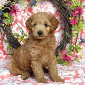 Mini Goldendoodle Puppies For Sale Mini Goldendoodle Puppies