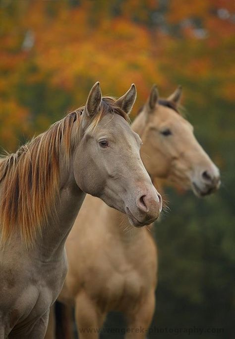Buckskin Horses. Horse in the foreground possibly champagne