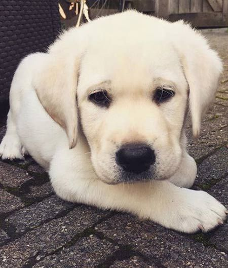 Fall In Labrador Love With Pictures Of Lab Puppies Black Chocolate And Yellow Labs Labrador Retriever Labrador Puppy Cute Labrador Puppies