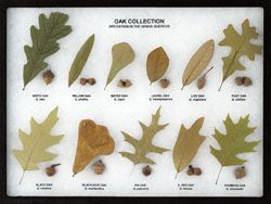 Oak Collection Leaf and Seed Display - Oak Leaf Display