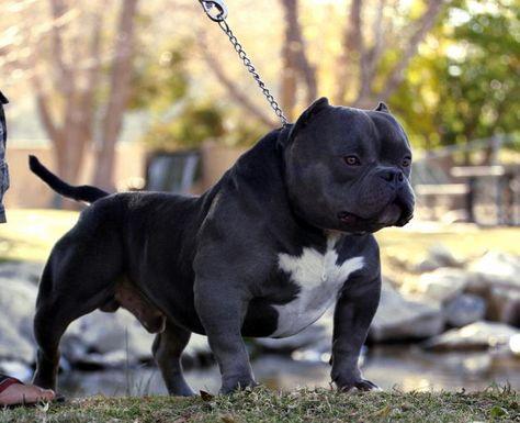 Pin Em Pitbull Puppies