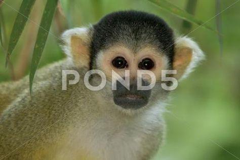 Squirrel Monkey ~ High Resolution & Quality #67700423