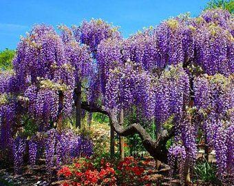 Chinese Mahogany Tree Seeds Toona Sinensis 50seeds Etsy Wisteria Tree Chinese Wisteria Wisteria Plant
