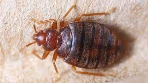 See Bedbugs Pictures Here And Learn The Difference Bed Bugs Treatment Bed Bugs Bed Bug Bites