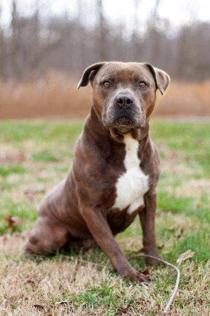 Adopt Boss On Pitbulls Pitbull Terrier Animal Control