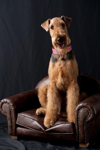 G2t7127 Convert 20120722155250 20120722160434 Jpg Airedale Dogs