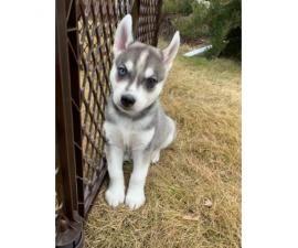 8 Little Husky Pups 4 Girls And 4 Boys Little Husky Husky