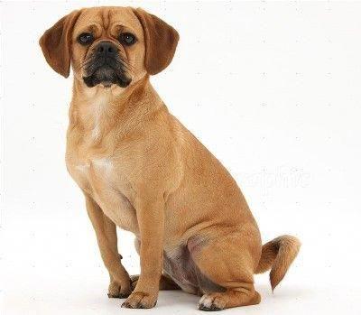 Puggle Beagle Pug Pug Mix Dog Breeds Pug Mixed Breeds