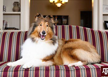 Next Texas A M Mascot Selected Reveille Ix To Assume Role In May