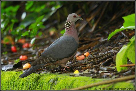 Sri Lanka Wood Pigeon Columba Torringtoni Wood Pigeon