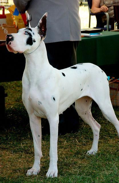 Very Lightly Marked Harle Great Dane Greatdanefacts Great Dane