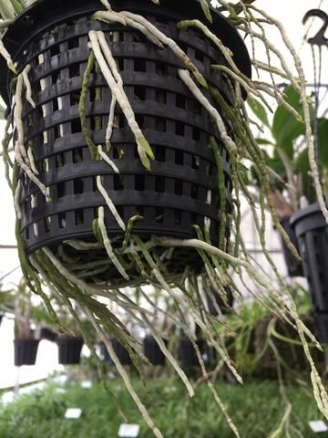 An unusual observation on orchid roots in web pots