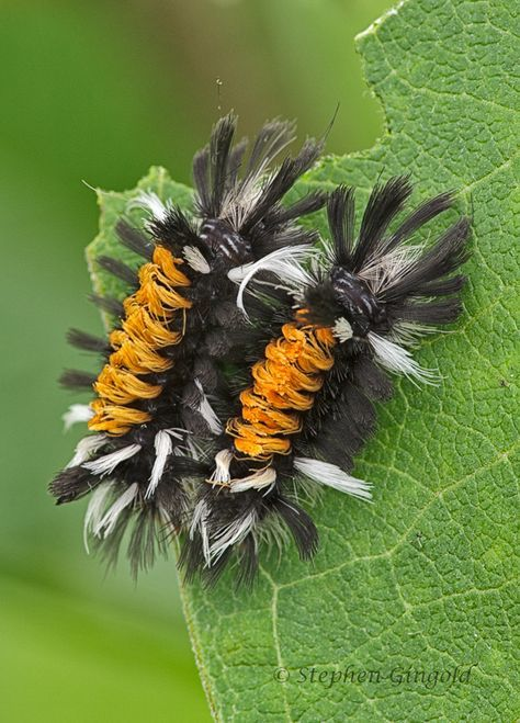 Milkweed Tussock Moth Caterpillars Stephen Gingold Nature Photography Blog Moth Caterpillar Weird Insects Cool Insects