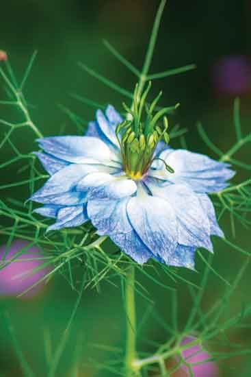 The Longevity Of Love In A Mist Heirloom Gardener Birth Flowers Unique Plants Plants