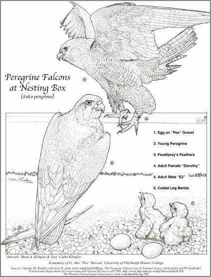 32 Peregrine Falcon Coloring Page In 2020 Adult Coloring Pages