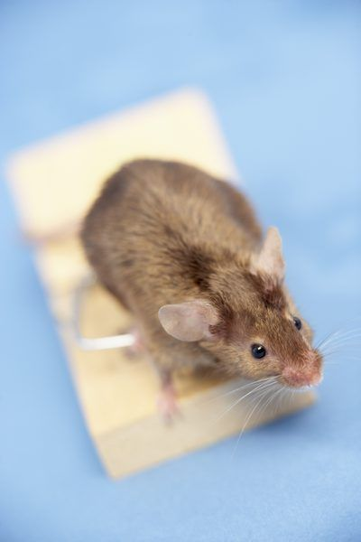 Mice And Other Rodents Can Be A Major Problem If They Set Up A Nest In A Home Or Building This Is Especially True If Th Getting Rid Of Mice Pest