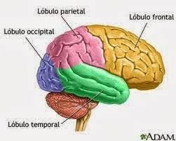 Resultado De Imagen Para Cerebro Hemisferios Lobulos Del Cerebro Cerebro El Cerebro